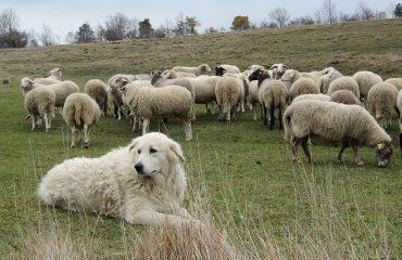 Risultato immagini per immagini di pastori che sparano