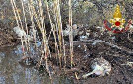 Nuorese. 80 pecore portate via dalla furia dell'acqua della diga: un giovane allevatore si salva per miracolo