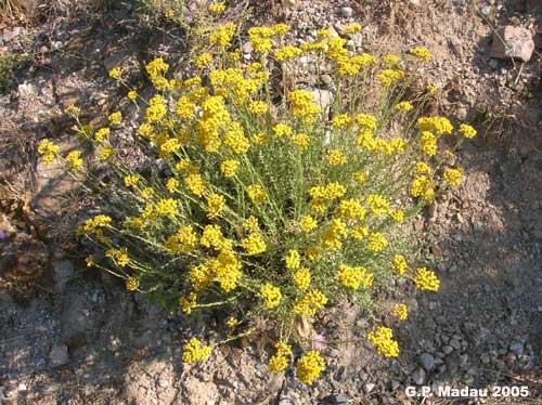 """Salute e bellezza: l'Elicriso, """"S'erba de Santa Maria"""", profumo di Sardegna, l'aromatica dalle mille proprietà curative"""