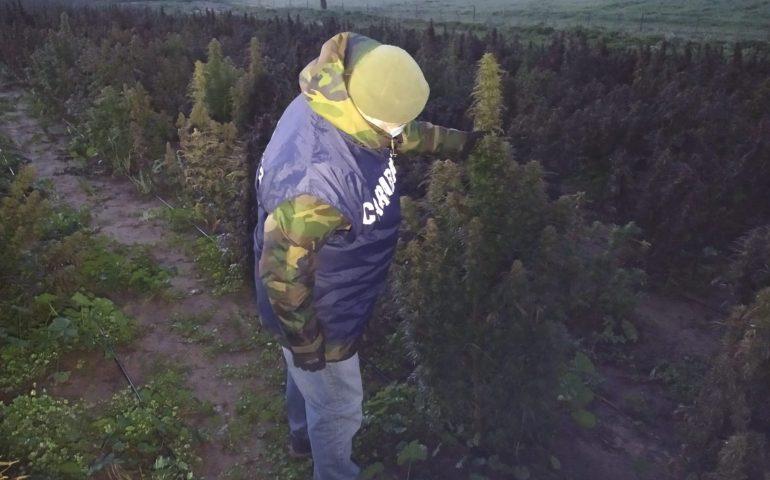 """Crea piantagione milionaria di """"canapa sativa"""", ma il livello di thc è illegale: 21enne di Oliena in manette"""