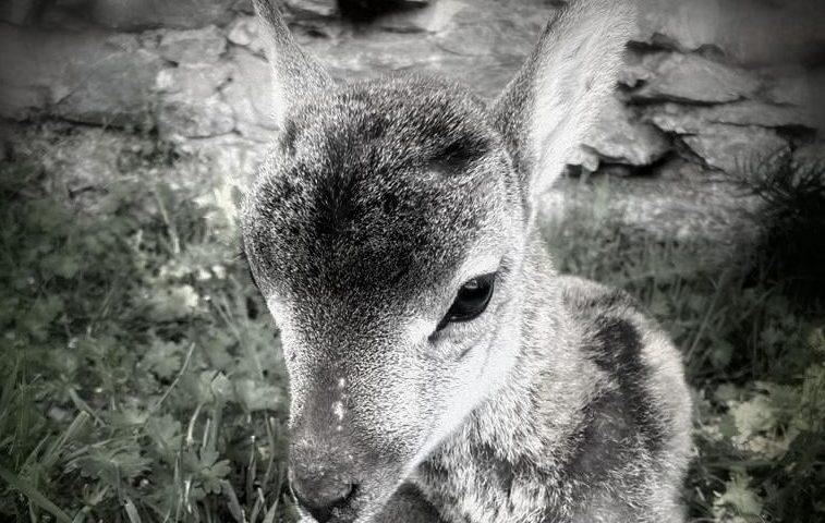 Gairuccio, il mufloncino salvato da Forestas non ce l'ha fatta