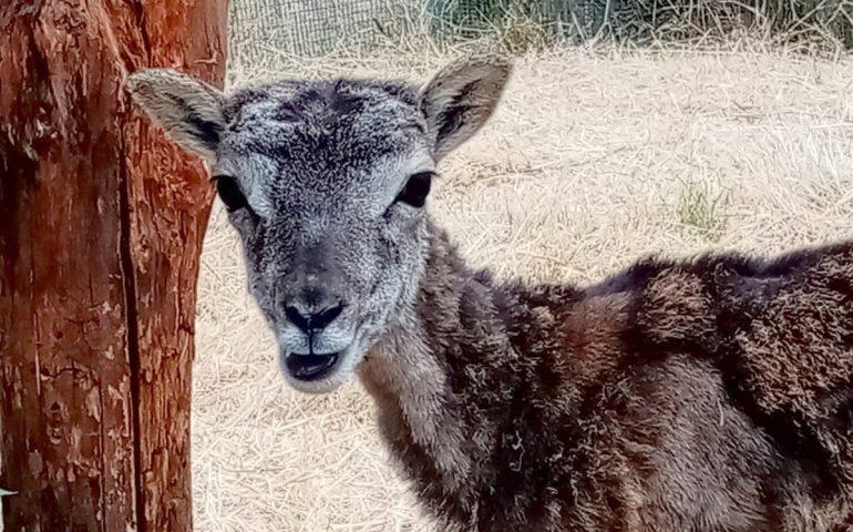 Forestas, è curato il cucciolo di muflone di Montarbu: presto ritornerà nei boschi di Seui