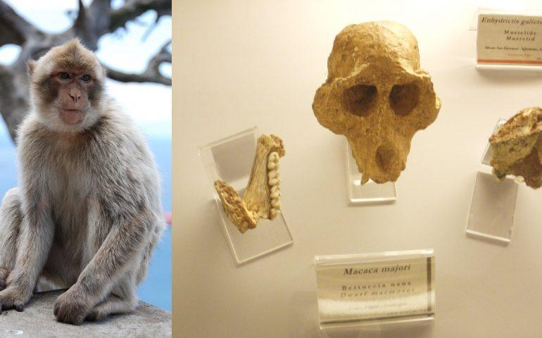 Lo sapevate? In passato in Sardegna viveva la bertuccia nana, una specie di scimmia locale