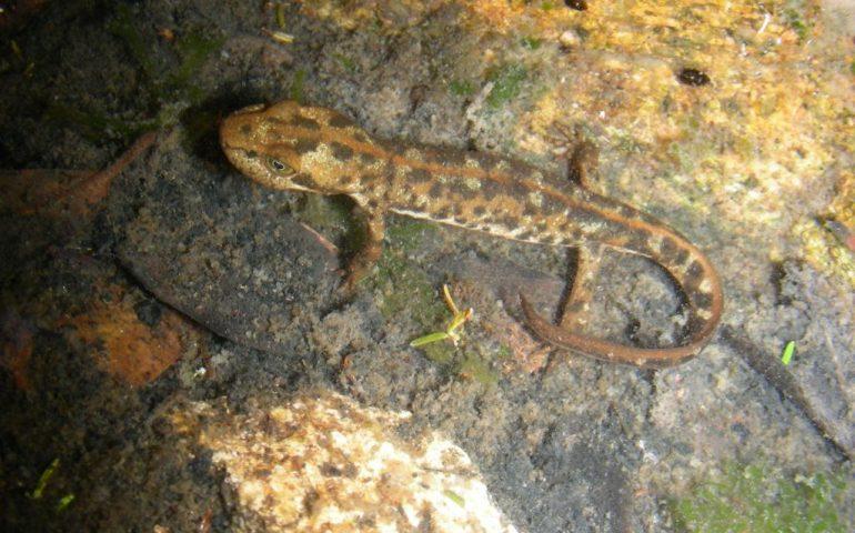 Lo sapevate? In Sardegna vive il geotritone (o euprotto) sardo: l'anfibio più raro d'Europa