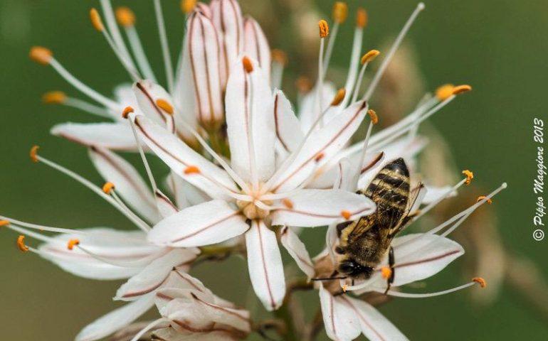 Salute e bellezza: l'asfodelo, una pianta magica, legata alle tradizioni di Sardegna
