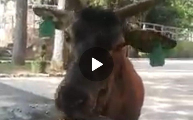 (VIDEO) Sardegna, Gravellu il simpatico cervo della Foresta di Montarbu