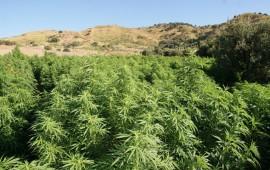 Arthana: secuestradas 350 matixeddas de cannabis: dennuntziados duos piciocos