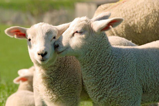 L'agnello di Sardegna Igp entra per la prima volta nelle mense universitarie di Sassari
