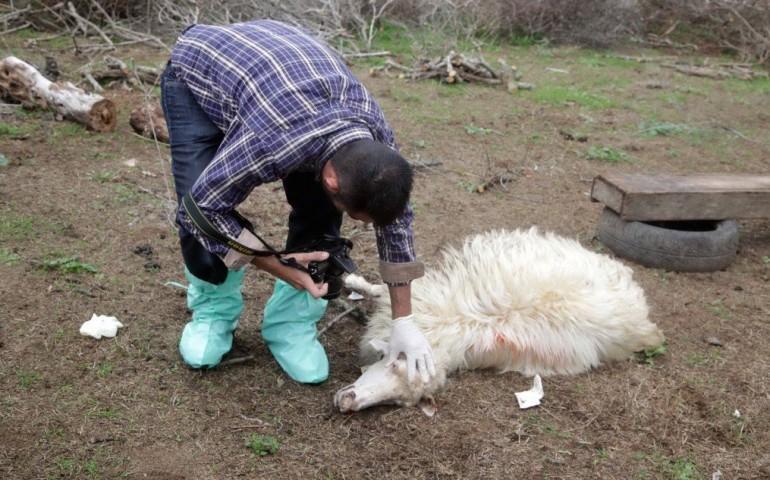 Coldiretti. Lingua blu: vaccinazione dei bovini da movimentare e indennizzi per morti e mancato reddito