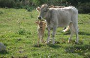 I bovini sardi sono sempre tra i migliori. Exploit dell'allevamento del campione nazionale Pietro Oggiano nella prima giornata della mostra di Ozieri