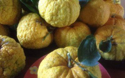 Sa pompìa, l'agrume sardo unico al mondo: buono da mangiare, ma anche ottima medicina alternativa