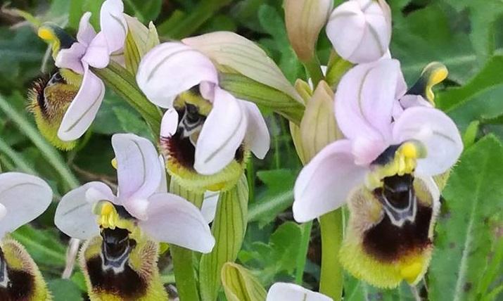 Le foto dei lettori. Orchidee selvatiche a due passi dal mare in uno scatto di Monica Pili