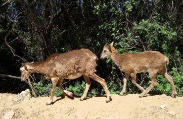Famiglia di mufloni ad Arbatax ( foto A.Useli)