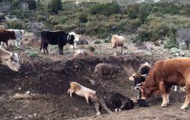 Peste suina, 57 maiali abbattuti nelle campagne tra Orgosolo e Urzulei