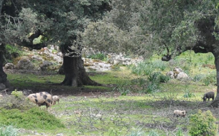 Peste suina, a Orgosolo la storia infinita. Abbattuti altri 225 maiali trovati allo stato brado