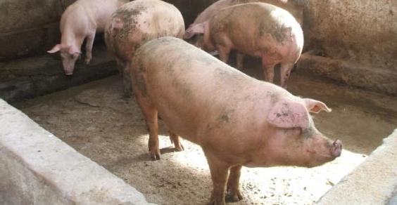 Peste suina, dal cuore dell'Ogliastra un modello virtuoso: Urzulei, 48 allevatori emergono dall'irregolarità