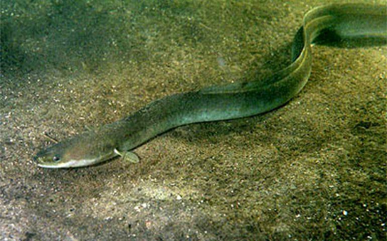 Foce del rio Pramaera a Lotzorai e rio Ulassai: si passa al ripopolamento delle anguille