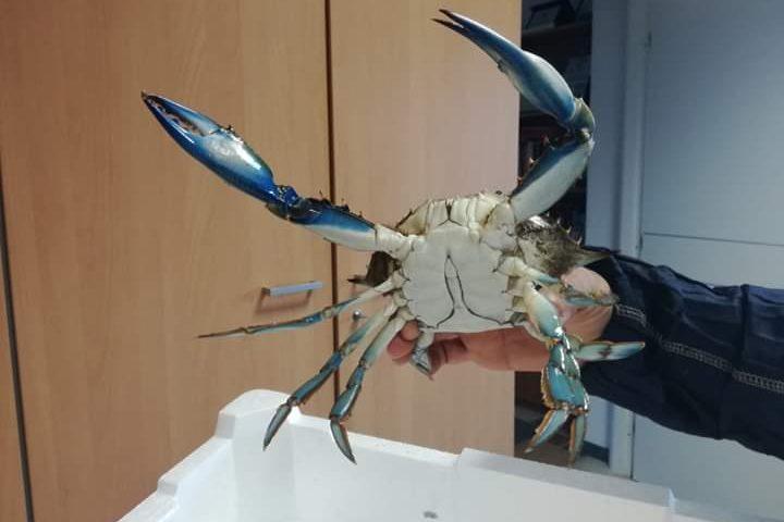 Stagno di Tortolì, catturato granchio americano blu. Sorpresa e preoccupazione per il ritrovamento