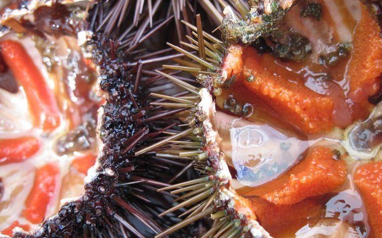Pesca di anguille e ricci: molte conferme e grandi novità. Ci si prepara per la nuova stagione