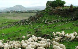 Gregge di pecore pascola nelle vicinanze di un nuraghe.