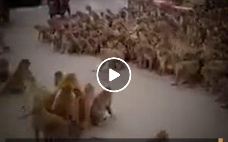 (VIDEO) Caos in Thailandia: guerra tra gang di scimmie in pieno centro cittadino