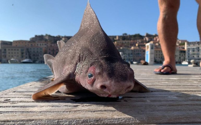 """Rinvenuto nel Mediterraneo un raro """"pesce porco"""": lo squalo che grugnisce"""