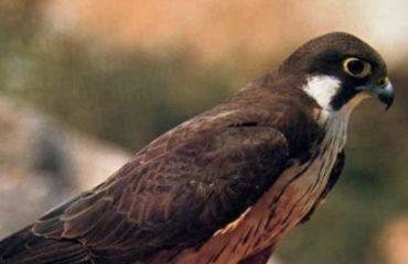falco-di-eleonora
