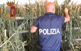 marijuana-sos-alinos (1)